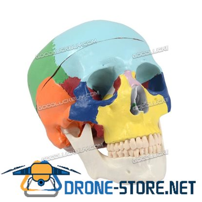 3 Parts Coloured Anatomical Human Skull Model Medical Skeleton Anatomy